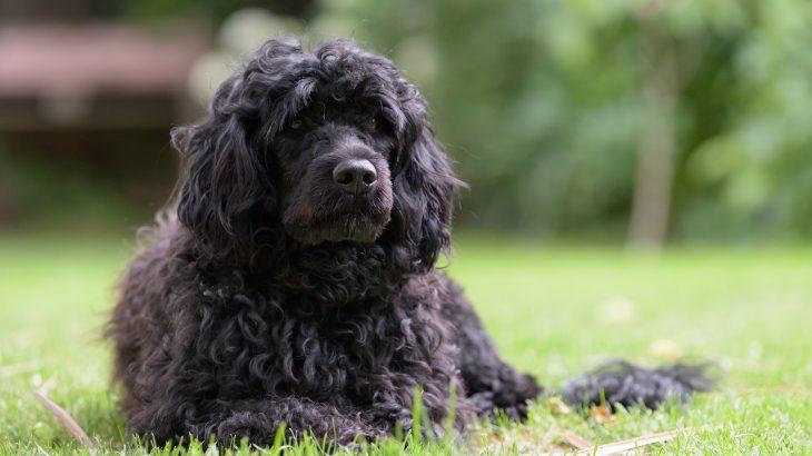 Ellis – Portugiesischer Wasserhund