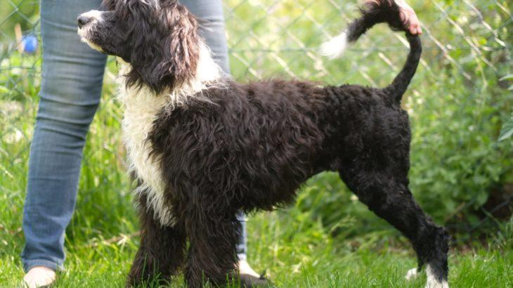 Unsere Hunde – Portugiesischer Wasserhund